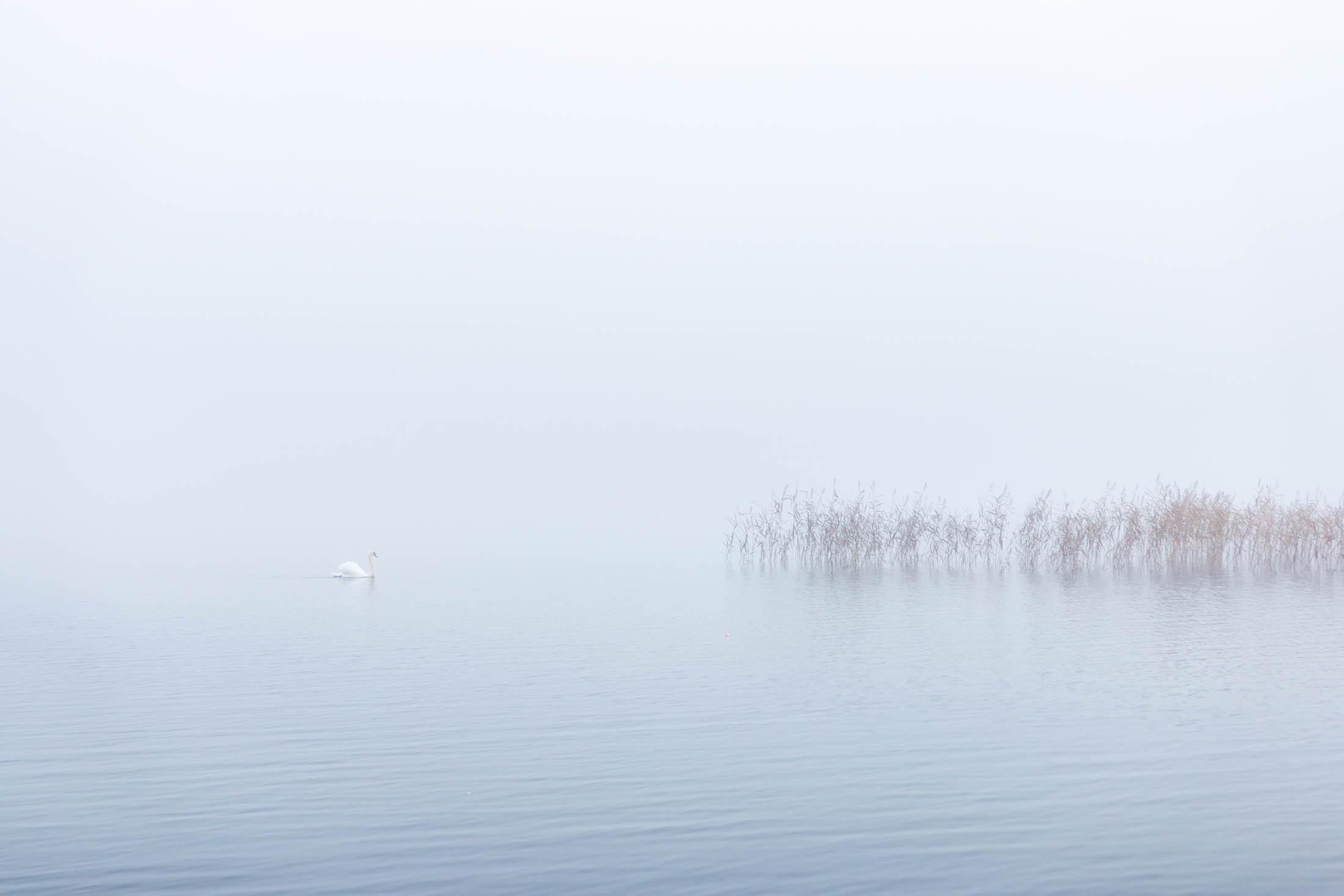 Swan Lough Corrib Galway Ireland