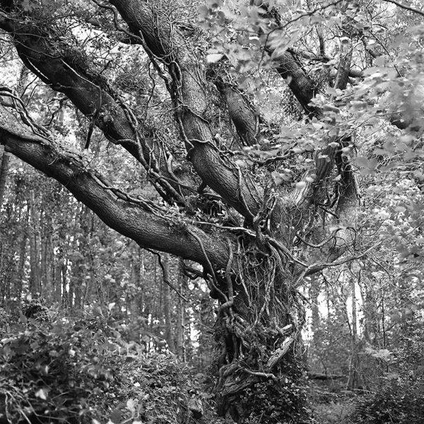 oak tree inchagoill island, black and white photography, Donal Kelly